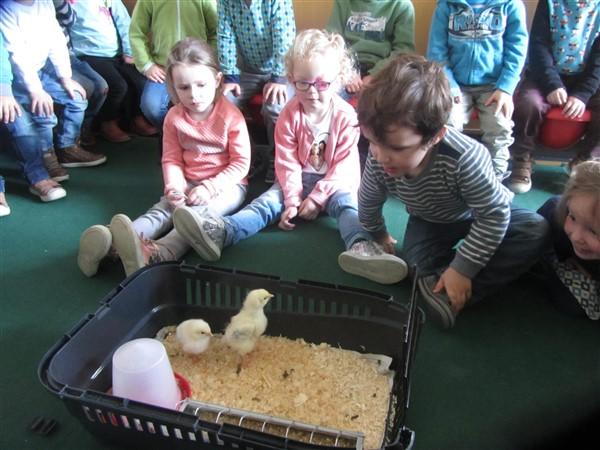 Moeke kip en haar kleintjes! K1B